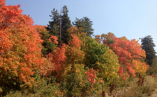 The Wasatch tree color spectacle!
